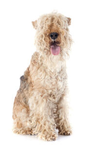 A beautiful curly coated little Lakeland Terrier sitting very neatly