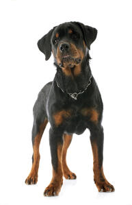 A confident little Rottweiler puppy standing tall, showing off its wonderful physique