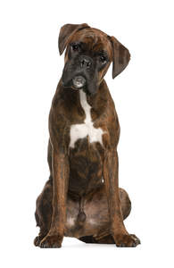 A male Boxer with a lovely soft coat showing off it's beautiful, pointed ears