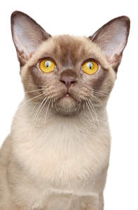 A champagne burmese cat with a brown nose and golden eyes