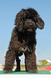 A Portuguese Water Dog standing tall, showing off its wonderful thick dark coat