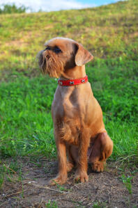 A Brussels Griffon with a beautifully groomed coat sitting very neatly