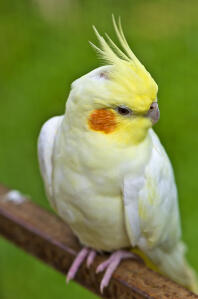 A close up of a Cockatiel's wonderful yellow head feathers