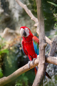 A Scarlet Macaw's wonderful, scarlet red chest feathers