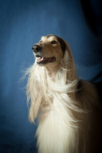 A glamourous afghan hound with lovely white ears