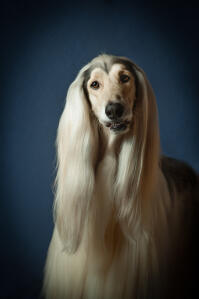 A lovely afghan hound with fantastically groomed hair