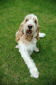 A happy Basset Griffon vendeen grand lying on the grass