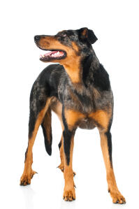 A fit and healthy adult Beauceron