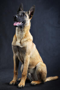 A adult, male Belgian Malinois sitting beautifully