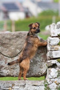 A wonderful Border Terrier, stretching tall on the rocks