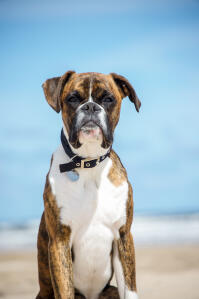A beautiful boxer sitting on the beach
