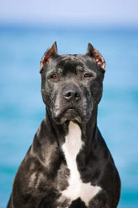 A close up of a black Bull Terrier's beautiful pointed ears