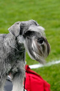 An adult Cesky Terrier with a beautifully groomed coat
