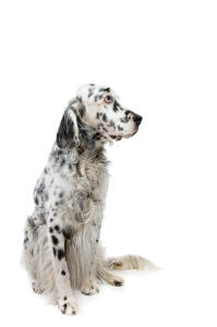 A mature English Setter with a beautiful long black and white coat