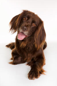 a playful german longhaired pointer with his tongue out