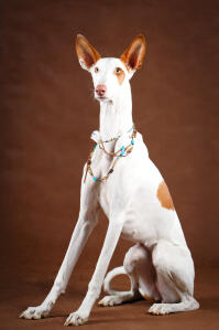 A gorgeous Ibizan Hound with long front legs