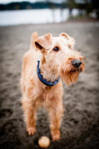 A close up of a Irish Terrier's lovely, wiry coat and beard