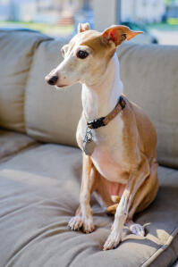 An Italian Greyhound sitting on the sofa with it's ears pushed back