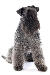 An adult Kerry Blue Terrier showing off its beautiful, long beard and fringe