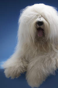 A close up of an Old English Sheepdog's beautiful, thick, soft coat