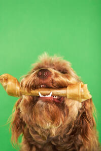 A lucky Otterhound with a treat between his jaws