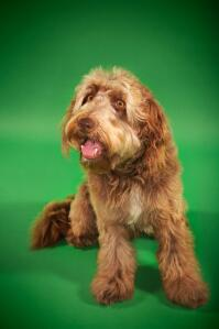 An Otterhound with a chocolatey brown coat