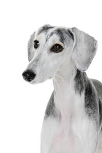A close up of a Saluki's short, soft coat and floppy ears