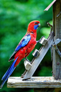 A beautiful Crimson Rosella, climbing up into it's house