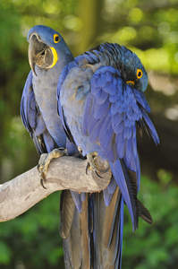 Two incredible Hyacinth Macaws perched on a branch together