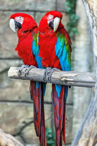 Two Red and Blue Macaws with wonderful, long tail feathers