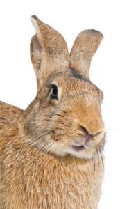 A Belgian Hare's beautiful long nose