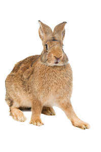 Belgian Hare For Sale ...
