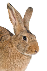 A close up of a Belgian Hare's wonderful big ears