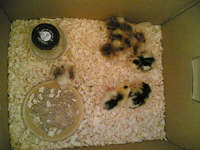 Day old chicks