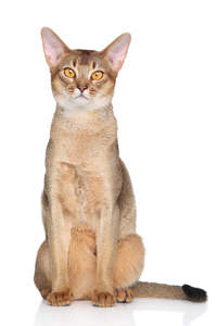 An abyssinian cat with big ears and golden eyes