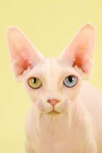 A bambino cat with heterochromia eyes