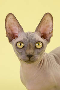 A dark bambino cat with golden eyes and large ears