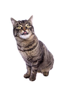 A cheeky Manx cat poking its tongue out