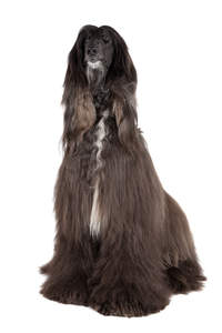 An adult Brown Afghan Hound with a wonderful coat