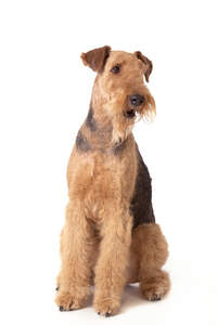 An healthy adult male Airedale sitting beautifully