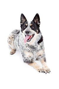 A beautiful adult black, white and brown Australian Cattle Dog lying down