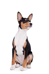 A black, white and brown Basenji puppy, showing off it's typically large ears