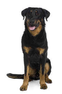 A strong adult Beauceron sitting to attention