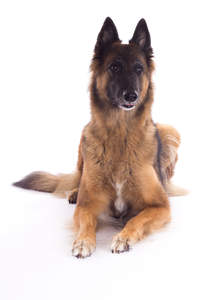 A beautiful young adult Belgian Tervuren