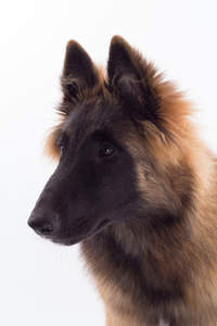 A close up of a Belgian Tervuren's pointed ears
