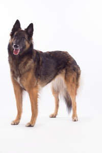 An adult Belgian Tervuren with a lovely, healthy coat