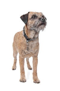 A young Border Terrier with a lovely, short, wiry coat