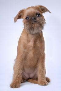 A lovely, little Brussels Griffon puppy waiting patiently for some attention
