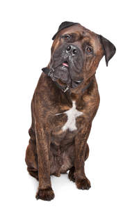 A dark brown coated adult Bullmastiff sitting to attention