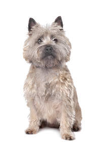 A beautifully trimmed adult Cairn Terrier sitting neatly